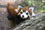 POseable toy commission: red panda