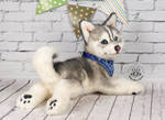 FOR SALE! Poseable toy Husky puppy. 100% handmade! by MalinaToys