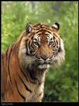 Tiger Portret