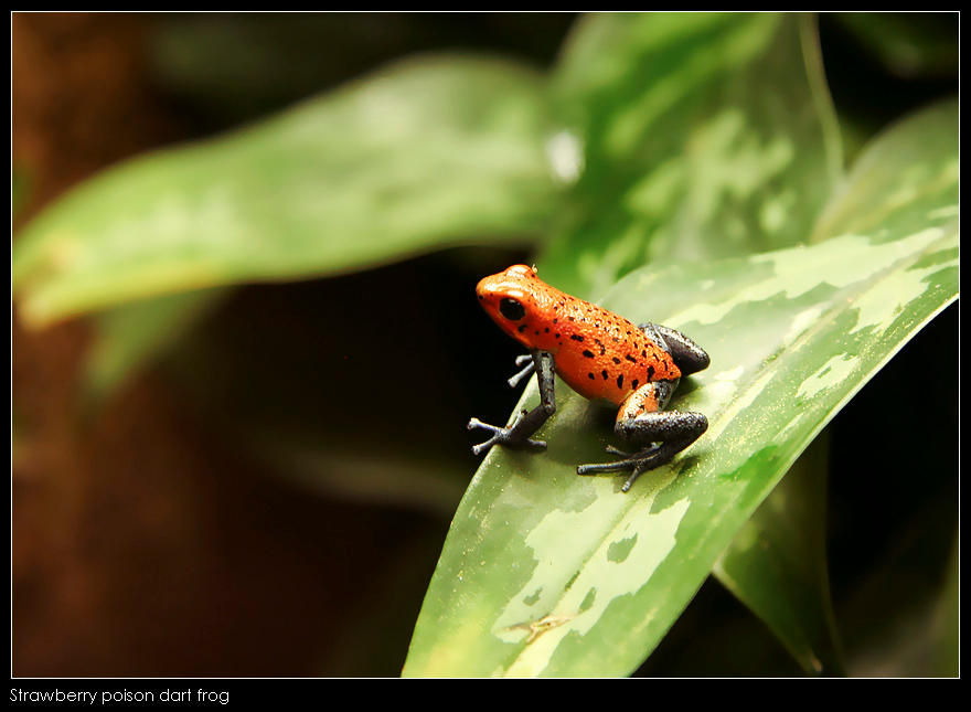 Strawberry poison dart frog by Dickie67