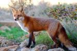Romeo the Red fox