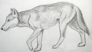 My first wolf