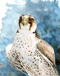 Lanner Falcon Study