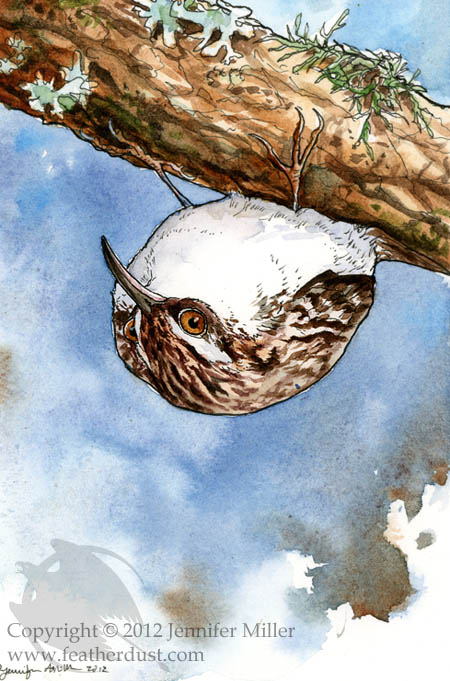 brown creeper coloring pages - photo#16