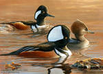 Three's a Crowd - Hooded Mergansers