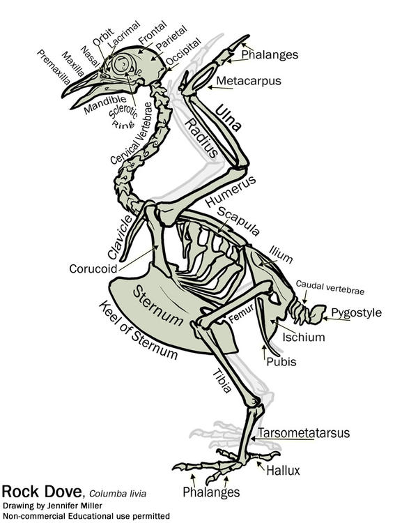 simple bird skeleton diagram by nambroth on deviantart rh nambroth deviantart com Mole Skeleton Diagram Pigeon Anatomy Diagram