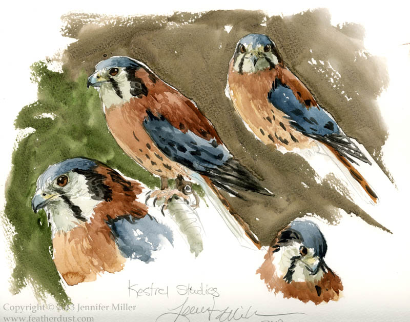 Kestrel Sketches/Studies by Nambroth