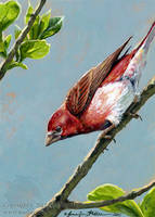 Purple Finch by Nambroth