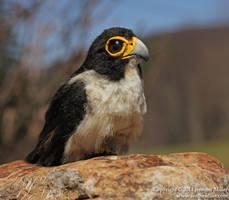 Emory, the Peregrine Falcon