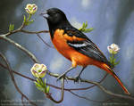 Oriole in Dogwood