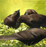Young Grackles