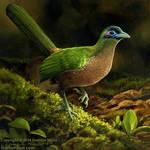 Sumatran Ground Cuckoo