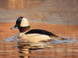 Early Spring Bufflehead