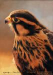 Nel - Apolomado Falcon