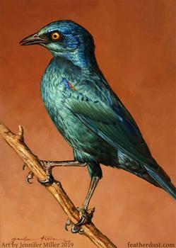 Gem - Cape Glossy Starling