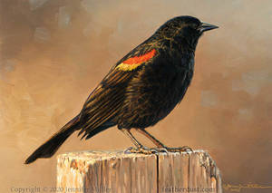 Frosty Morning - Red-winged Blackbird