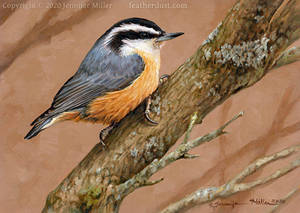 Diagonally - Red-breasted Nuthatch
