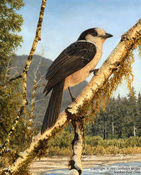 Watcher of the Hoh Grey/Canada Jay