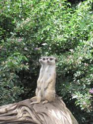 Twin Meerkats