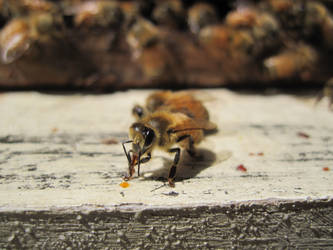 Bees 2 by w-dueck