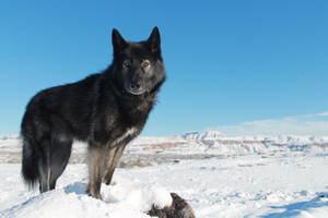 Black Wolf In Snow 1