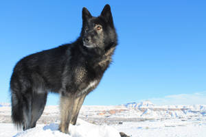 Black Wolf In Snow 2