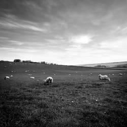 Sheeps by valentina85