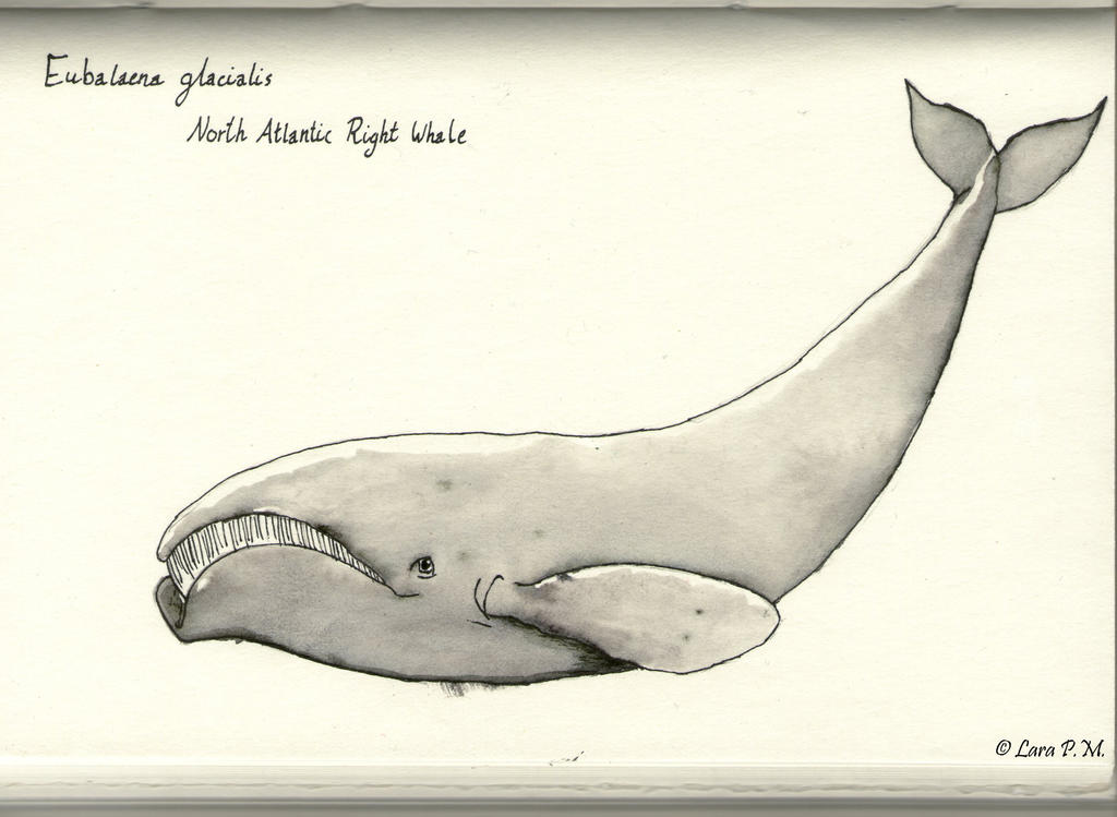 North Atlantic Right Whale Drawing