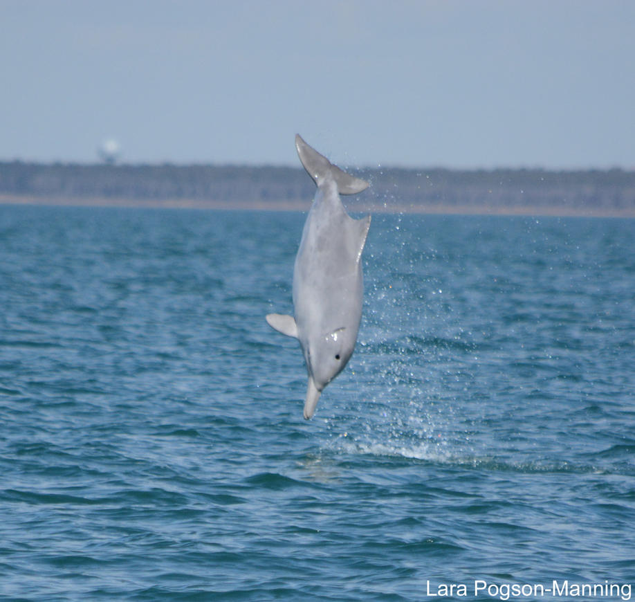 Leaping Humpback Dolphin!!! by karatechick13
