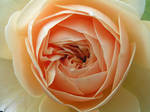 Peach Fascination