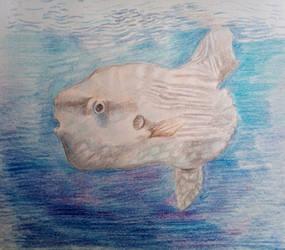(Gift) Sunfish