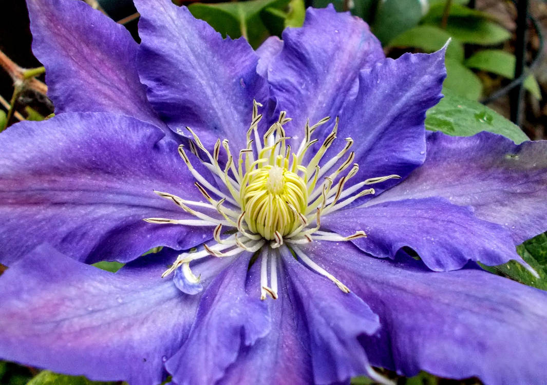 (Gift) Chevalier Blue