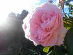 (Gift) In Rose Light
