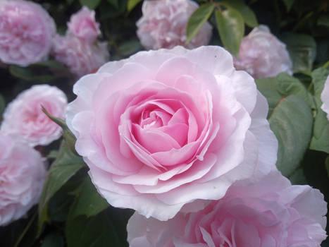 (Gift) Macaron Pink