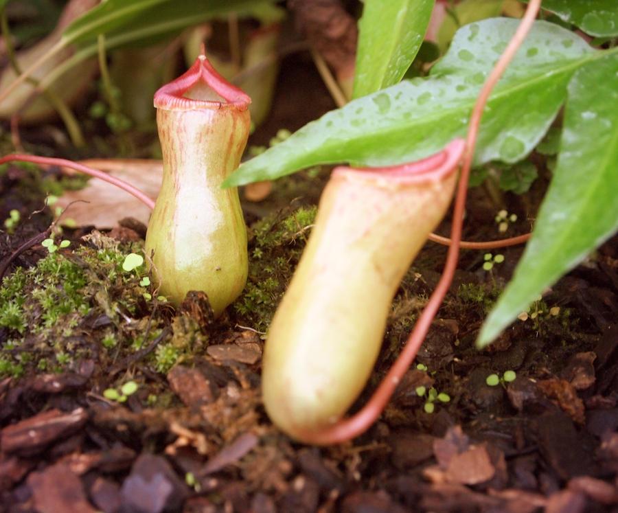 Carnivorous Plant by Jack-Violet