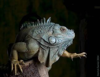 Iguana by dsenior