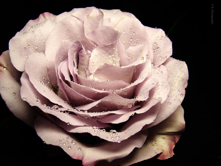 Rose by BeatsDeclivity
