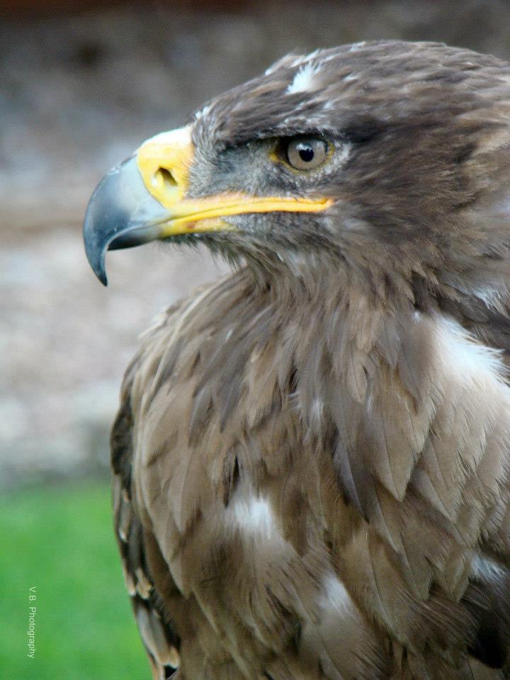 Eagle by BeatsDeclivity