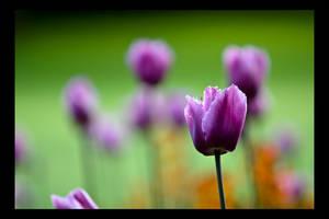 Shades of Purple by goranbaotic