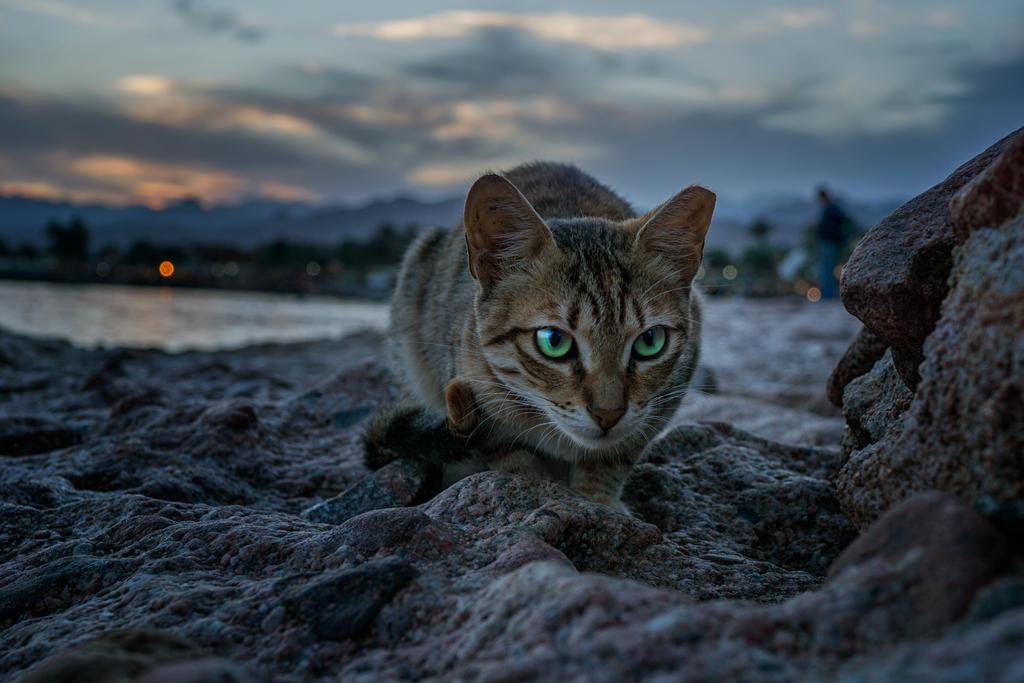 Sunset Cat Dahab
