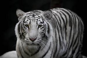 White Tiger by LifeCapturedPhoto