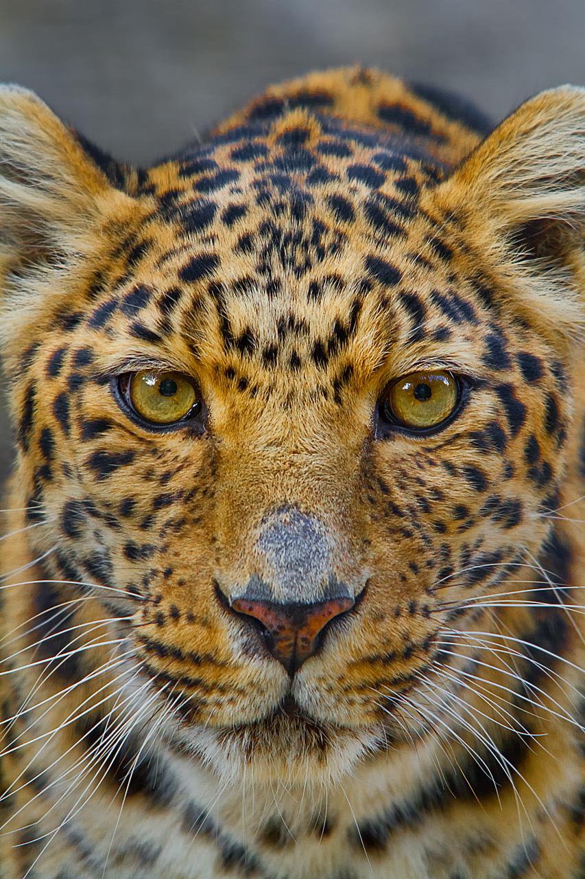 Amur Leopard by LifeCapturedPhoto