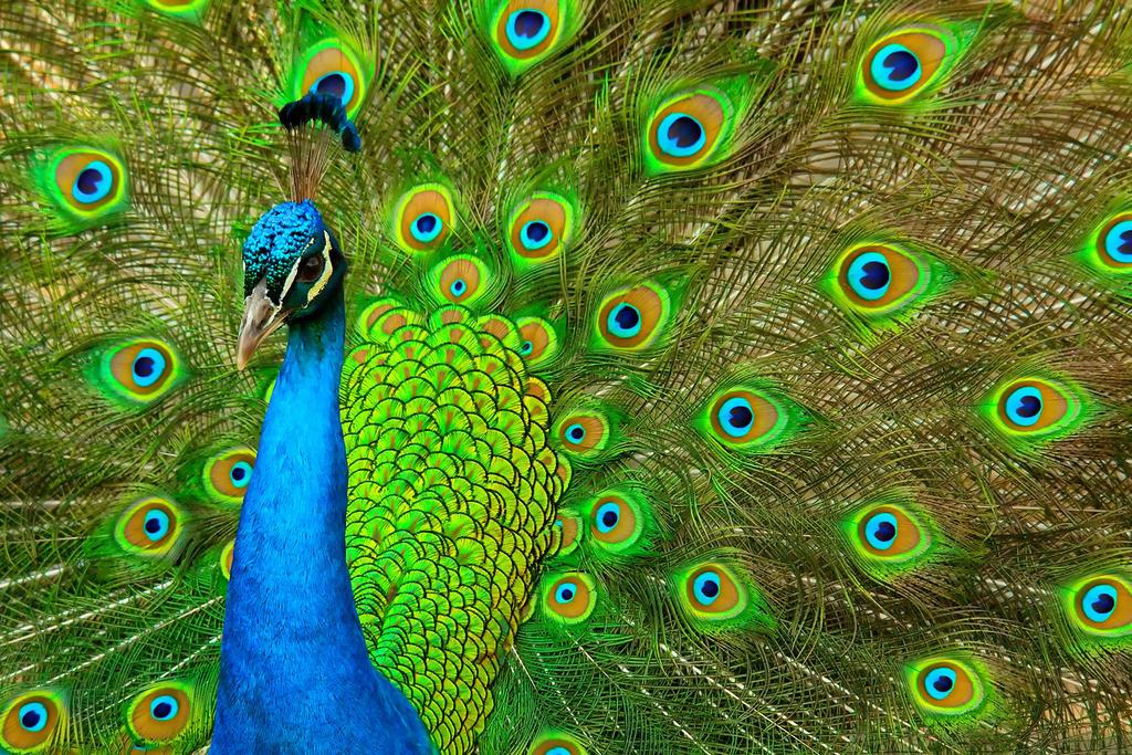 Peacock by LifeCapturedPhoto