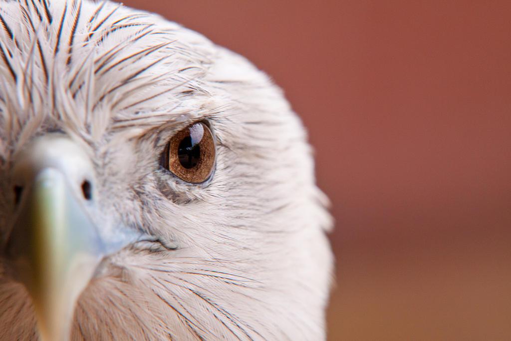 Hawk Eye by LifeCapturedPhoto