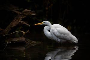 Egret by LifeCapturedPhoto