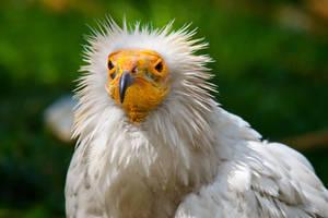 Vulture by LifeCapturedPhoto