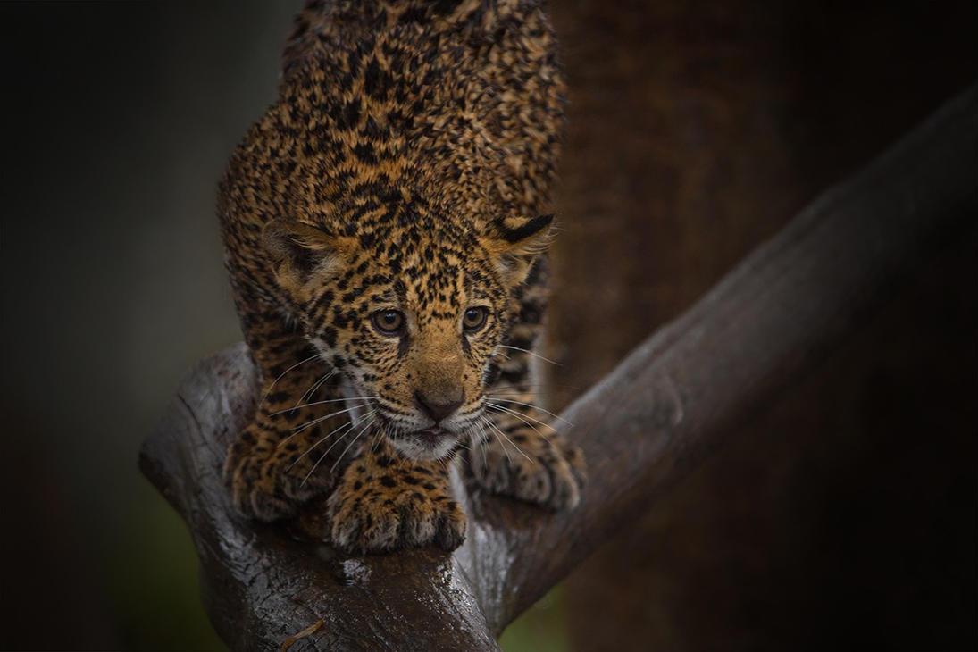 Jag Cub by LifeCapturedPhoto