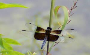 Dragonfly 1 by NightWhisper67