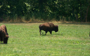 Buffalo 2 by NightWhisper67