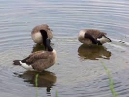 Ducks 1 by NightWhisper67